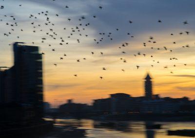 Battersea Bridge Birds © 2016 Vaughan Risher